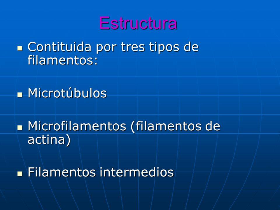 Estructura Contituida por tres tipos de filamentos: Contituida por tres tipos de filamentos: Microtúbulos Microtúbulos Microfilamentos (filamentos de