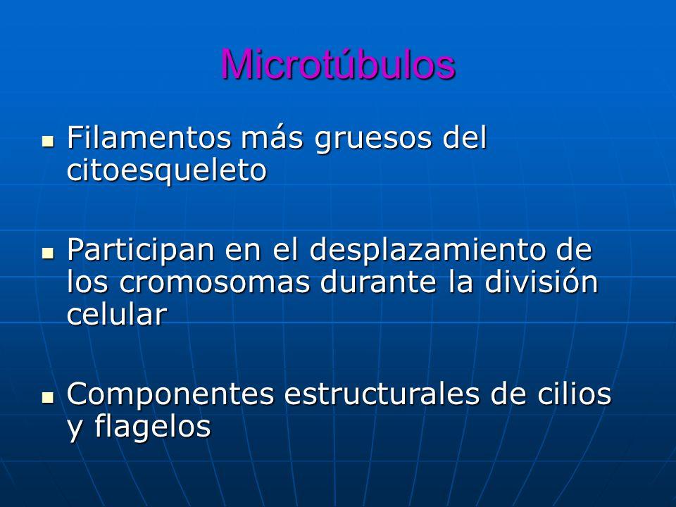 Microtúbulos Filamentos más gruesos del citoesqueleto Filamentos más gruesos del citoesqueleto Participan en el desplazamiento de los cromosomas duran