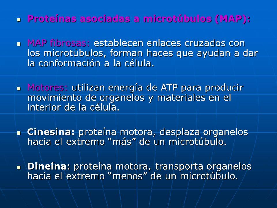 Proteínas asociadas a microtúbulos (MAP): Proteínas asociadas a microtúbulos (MAP): MAP fibrosas: establecen enlaces cruzados con los microtúbulos, fo