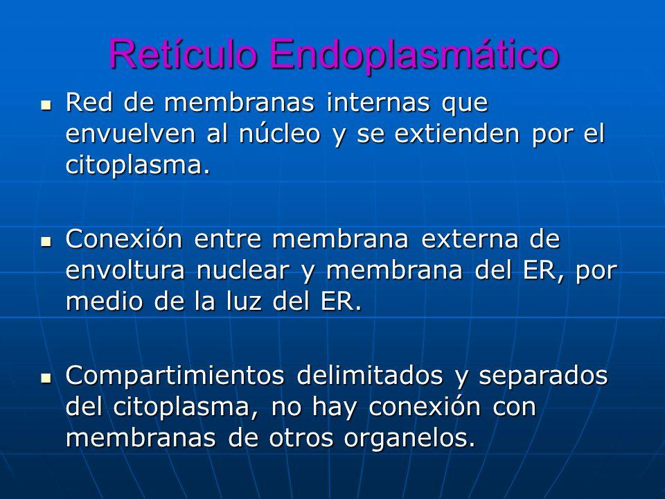 Retículo Endoplasmático Red de membranas internas que envuelven al núcleo y se extienden por el citoplasma. Red de membranas internas que envuelven al