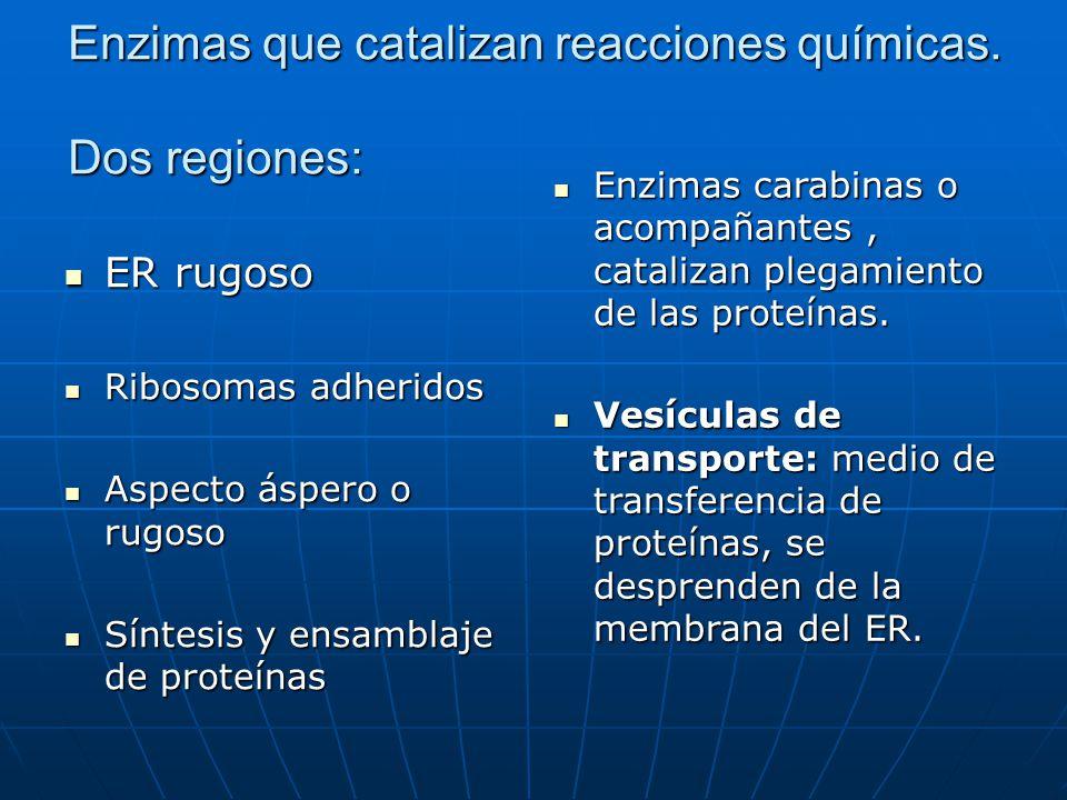 Enzimas que catalizan reacciones químicas. Dos regiones: ER rugoso ER rugoso Ribosomas adheridos Ribosomas adheridos Aspecto áspero o rugoso Aspecto á