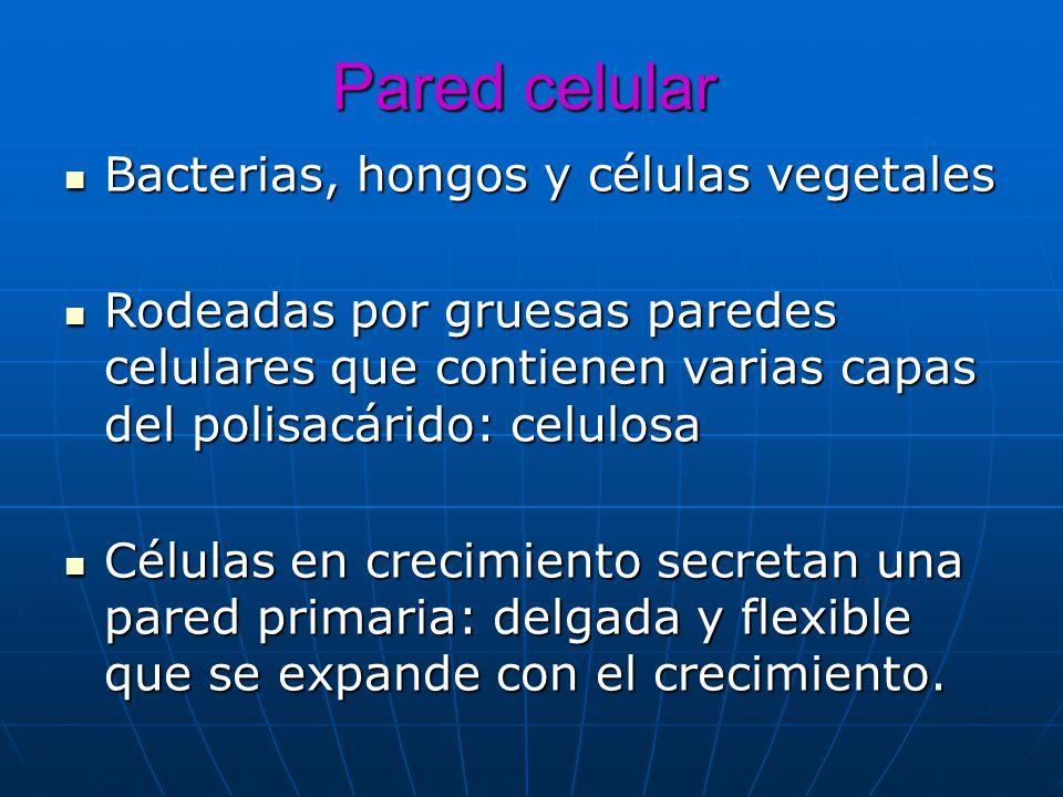 Pared celular Bacterias, hongos y células vegetales Bacterias, hongos y células vegetales Rodeadas por gruesas paredes celulares que contienen varias