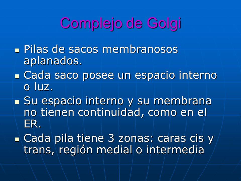 Complejo de Golgi Pilas de sacos membranosos aplanados. Pilas de sacos membranosos aplanados. Cada saco posee un espacio interno o luz. Cada saco pose