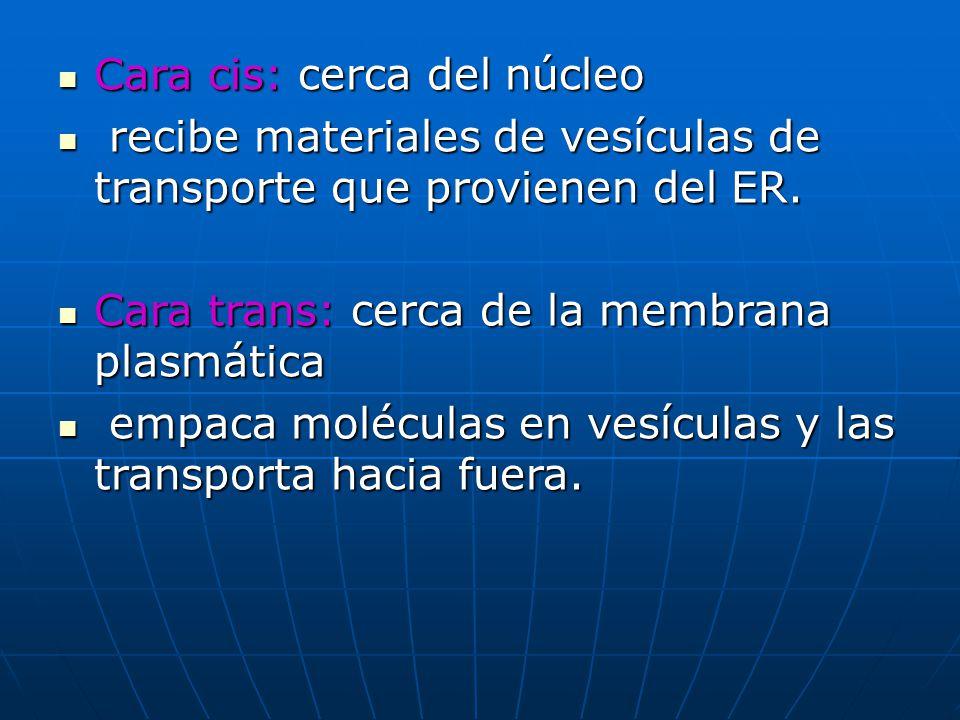 Cara cis: cerca del núcleo r recibe materiales de vesículas de transporte que provienen del ER. Cara trans: cerca de la membrana plasmática e empaca m