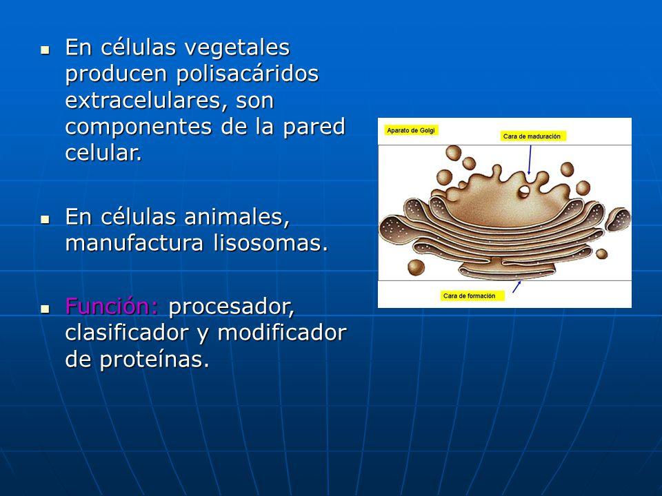 En células vegetales producen polisacáridos extracelulares, son componentes de la pared celular. En células animales, manufactura lisosomas. Función: