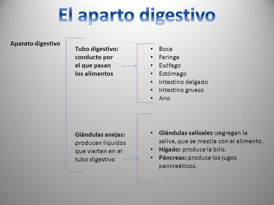 Aparato digestivo Tubo digestivo: conducto por el que pasan los alimentos Boca Faringe Esófago Estómago Intestino delgado Intestino grueso Ano Glándul