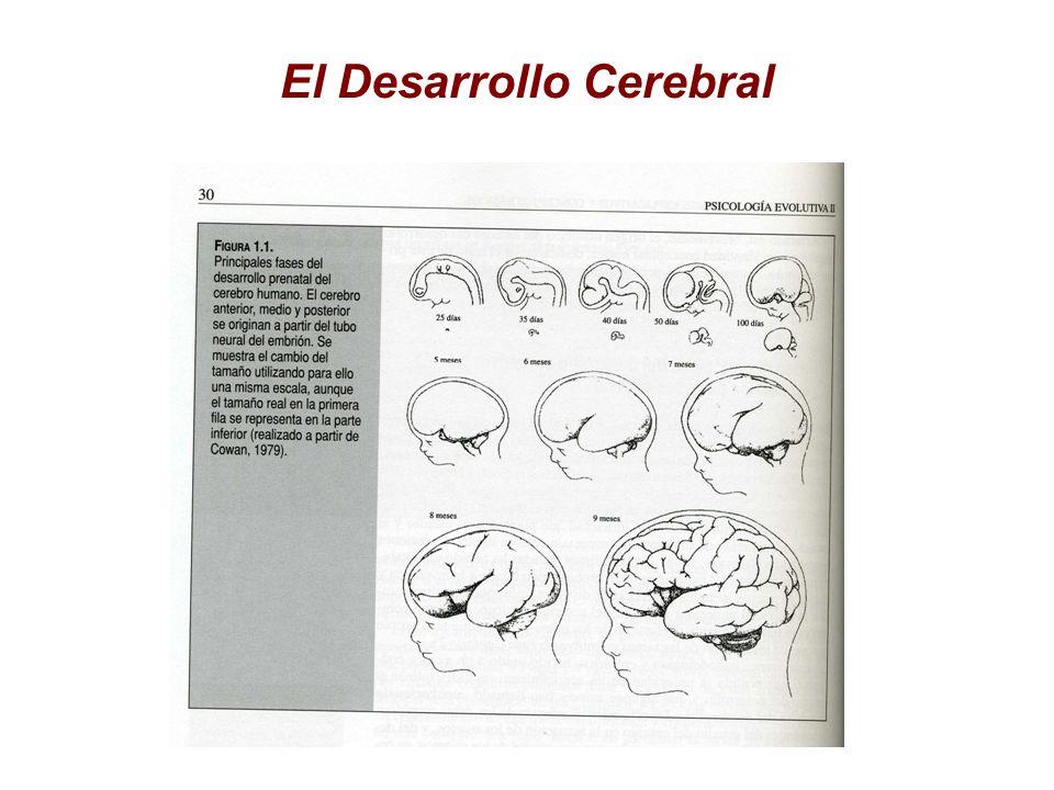 El Desarrollo Cerebral