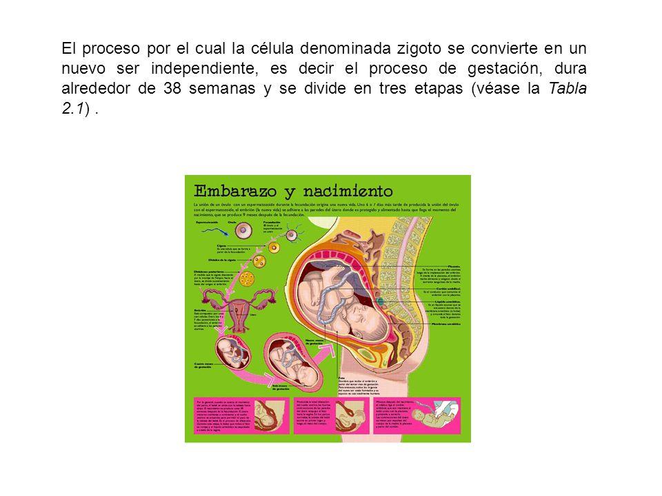 El proceso por el cual la célula denominada zigoto se convierte en un nuevo ser independiente, es decir el proceso de gestación, dura alrededor de 38