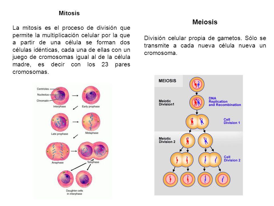 Mitosis La mitosis es el proceso de división que permite la multiplicación celular por la que a partir de una célula se forman dos células idénticas,