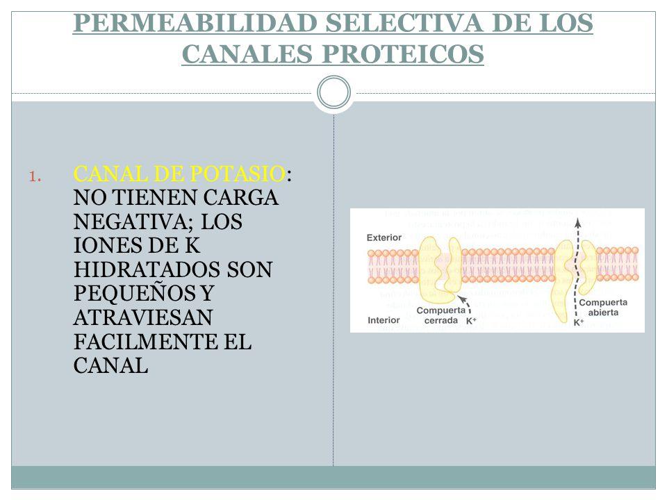 PERMEABILIDAD SELECTIVA DE LOS CANALES PROTEICOS 1. CANAL DE POTASIO: NO TIENEN CARGA NEGATIVA; LOS IONES DE K HIDRATADOS SON PEQUEÑOS Y ATRAVIESAN FA