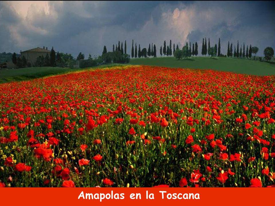 Amapolas en la Toscana