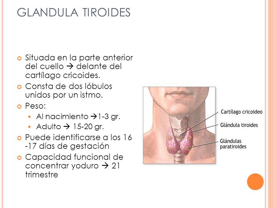 GLANDULA TIROIDES Situada en la parte anterior del cuello delante del cartílago cricoides. Consta de dos lóbulos unidos por un istmo. Peso: Al nacimie