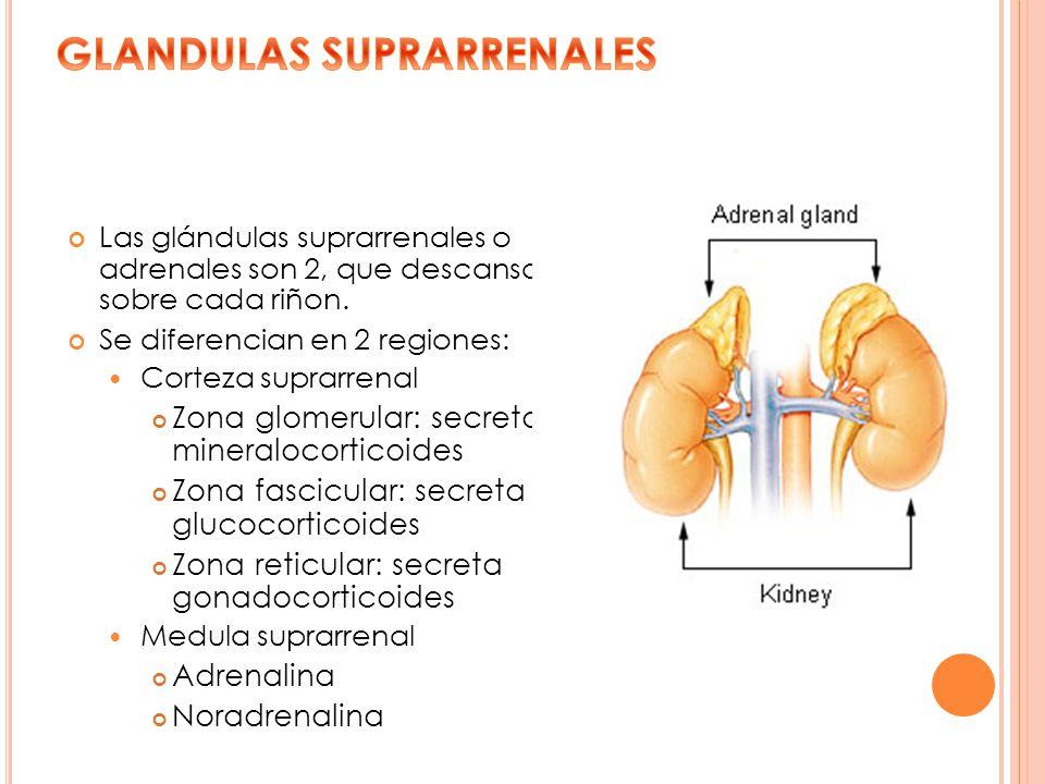 Las glándulas suprarrenales o adrenales son 2, que descansan sobre cada riñon. Se diferencian en 2 regiones: Corteza suprarrenal Zona glomerular: secr