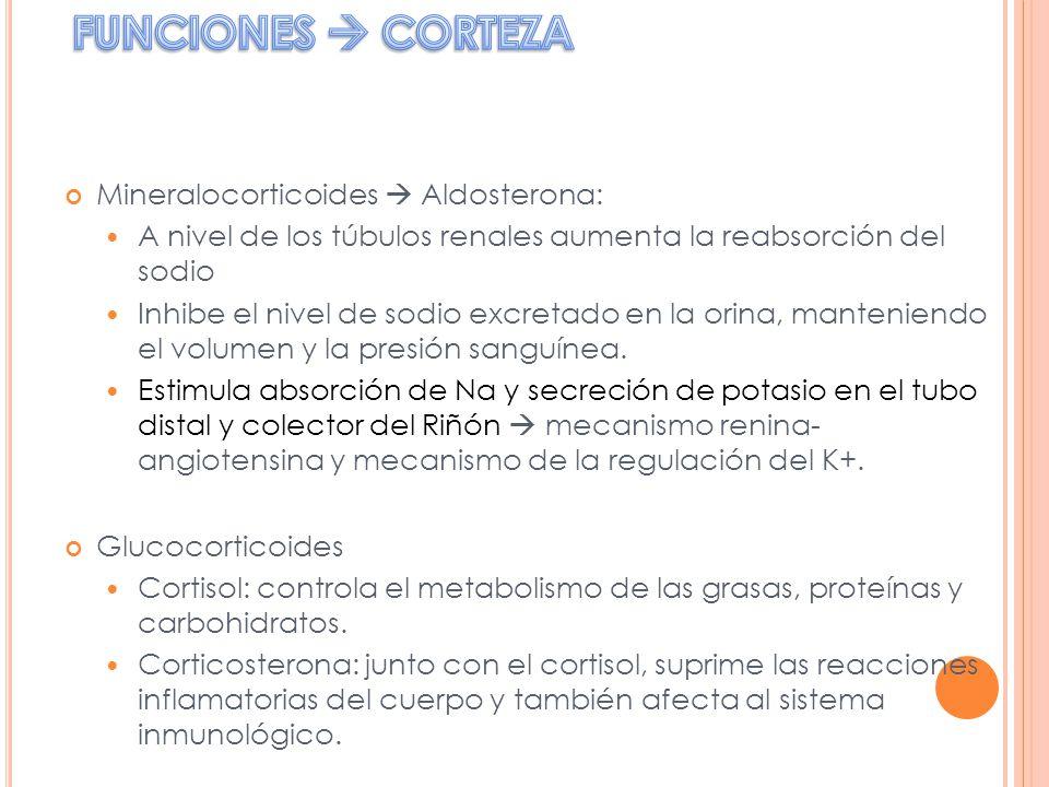 Mineralocorticoides Aldosterona: A nivel de los túbulos renales aumenta la reabsorción del sodio Inhibe el nivel de sodio excretado en la orina, mante