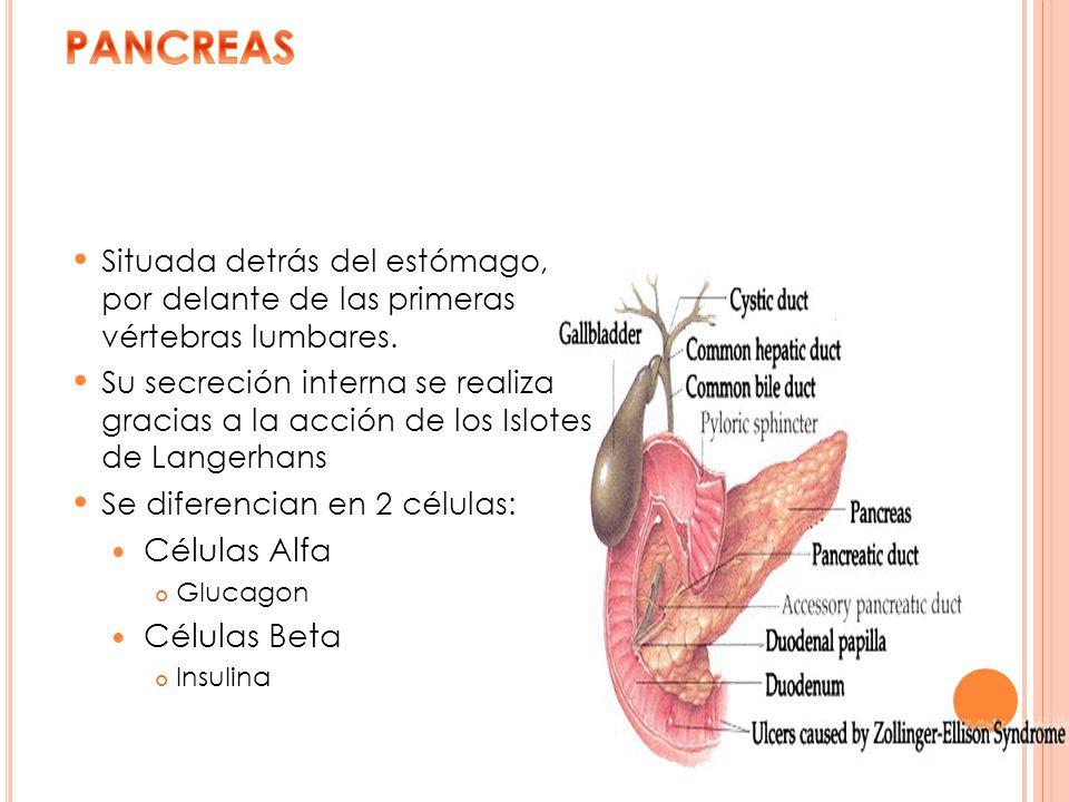 Situada detrás del estómago, por delante de las primeras vértebras lumbares. Su secreción interna se realiza gracias a la acción de los Islotes de Lan