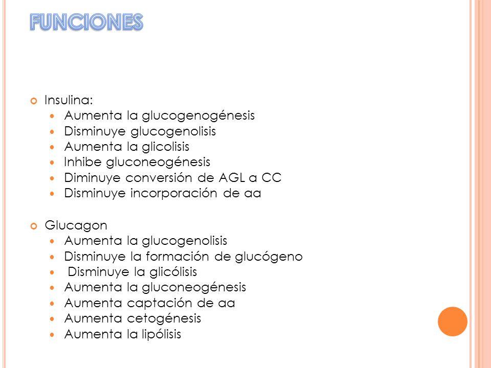 Insulina: Aumenta la glucogenogénesis Disminuye glucogenolisis Aumenta la glicolisis Inhibe gluconeogénesis Diminuye conversión de AGL a CC Disminuye