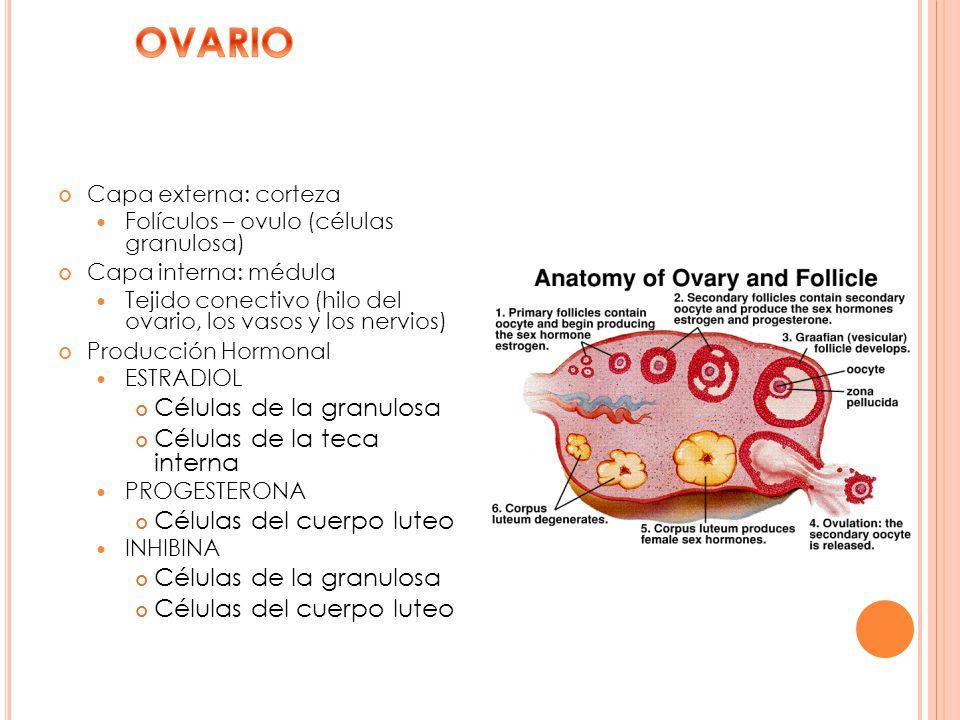 Capa externa: corteza Folículos – ovulo (células granulosa) Capa interna: médula Tejido conectivo (hilo del ovario, los vasos y los nervios) Producció