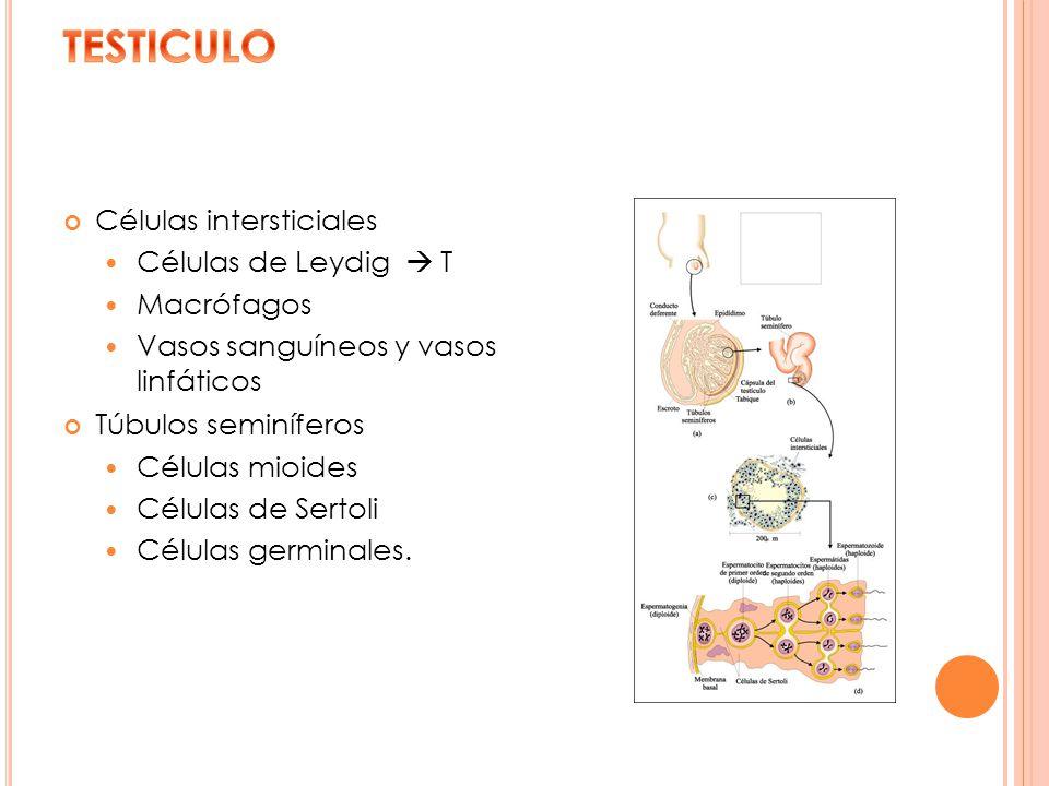 Células intersticiales Células de Leydig T Macrófagos Vasos sanguíneos y vasos linfáticos Túbulos seminíferos Células mioides Células de Sertoli Célul