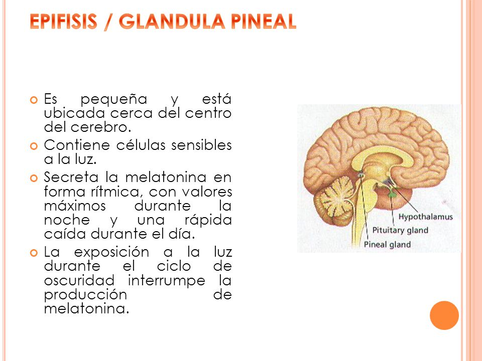Es pequeña y está ubicada cerca del centro del cerebro. Contiene células sensibles a la luz. Secreta la melatonina en forma rítmica, con valores máxim