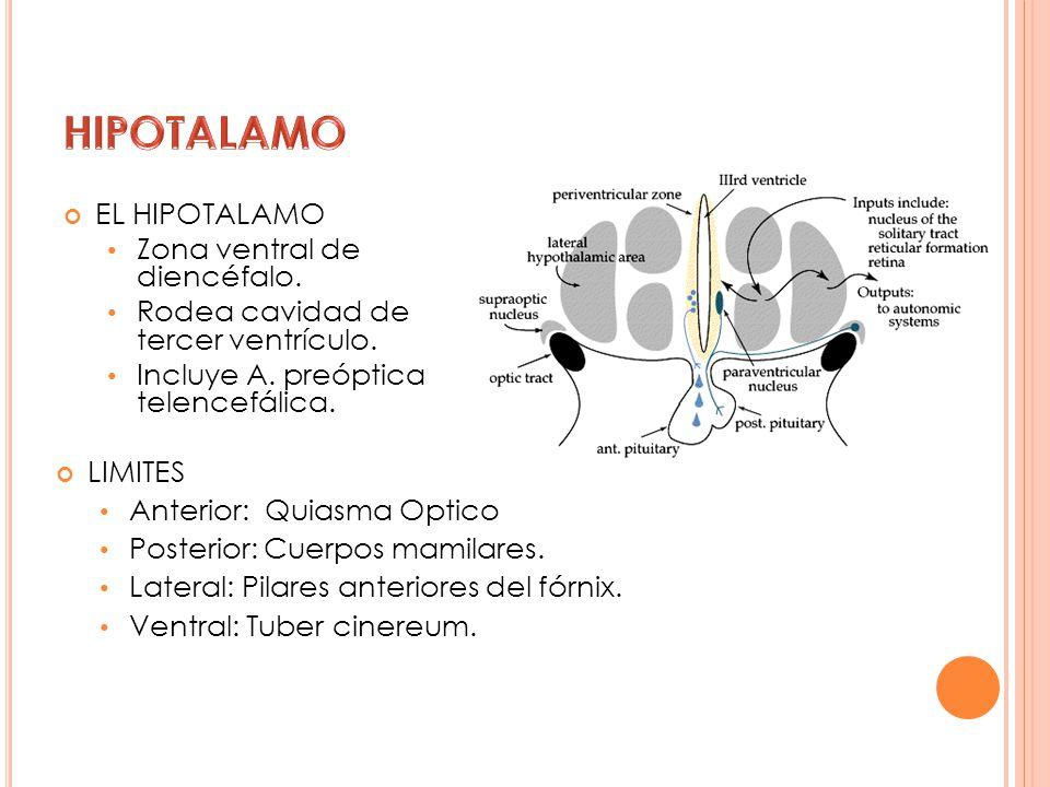 EL HIPOTALAMO Zona ventral de diencéfalo. Rodea cavidad de tercer ventrículo. Incluye A. preóptica telencefálica. LIMITES Anterior: Quiasma Optico Pos