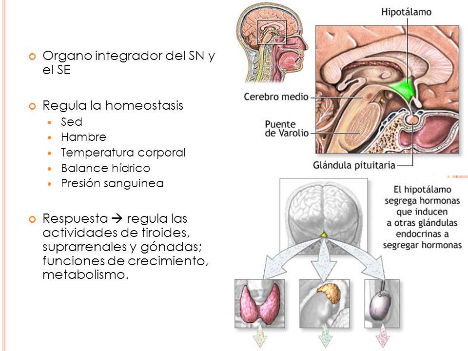 Hormona liberadora de corticotropina (CRH) Activadora de la secreción hipofisiaria de ACTH.