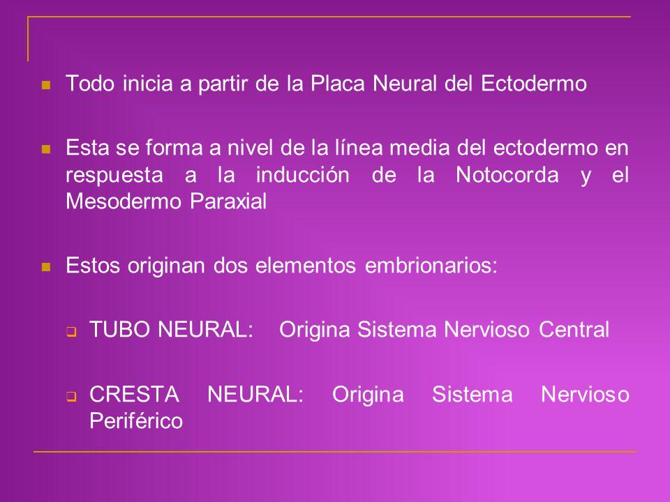 Todo inicia a partir de la Placa Neural del Ectodermo Esta se forma a nivel de la línea media del ectodermo en respuesta a la inducción de la Notocord
