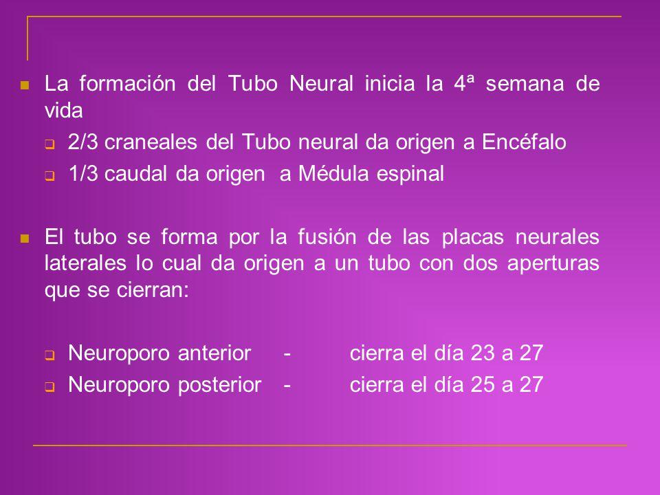 La formación del Tubo Neural inicia la 4ª semana de vida 2/3 craneales del Tubo neural da origen a Encéfalo 1/3 caudal da origen a Médula espinal El t