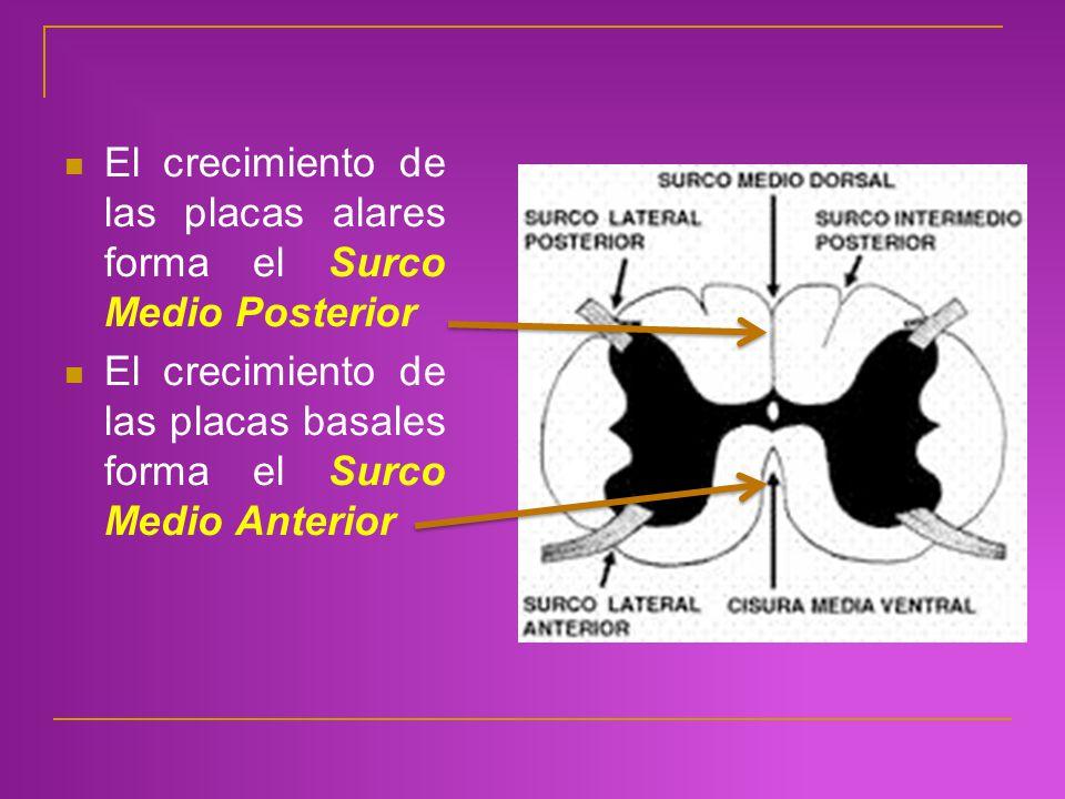 El crecimiento de las placas alares forma el Surco Medio Posterior El crecimiento de las placas basales forma el Surco Medio Anterior