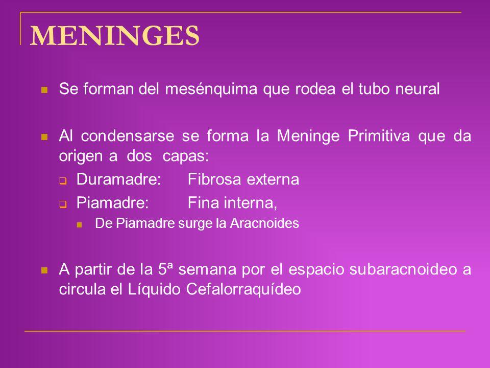 MENINGES Se forman del mesénquima que rodea el tubo neural Al condensarse se forma la Meninge Primitiva que da origen a dos capas: Duramadre: Fibrosa