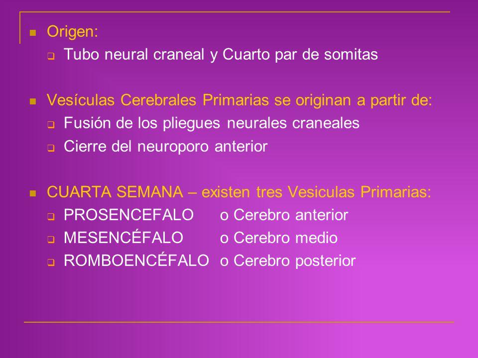 Origen: Tubo neural craneal y Cuarto par de somitas Vesículas Cerebrales Primarias se originan a partir de: Fusión de los pliegues neurales craneales