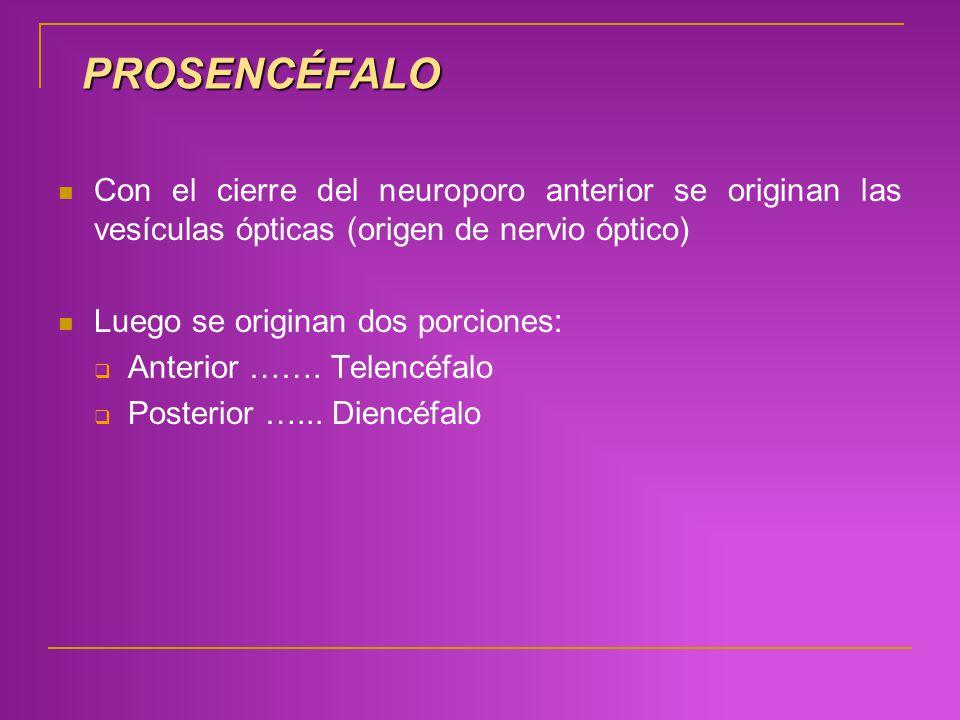 PROSENCÉFALO Con el cierre del neuroporo anterior se originan las vesículas ópticas (origen de nervio óptico) Luego se originan dos porciones: Anterio