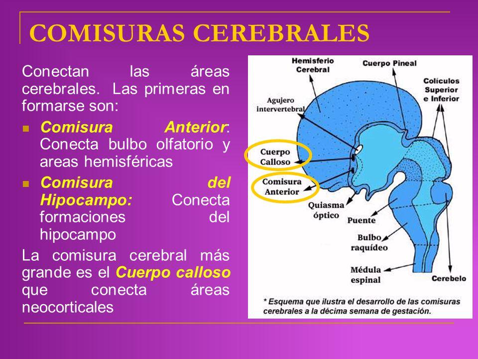 COMISURAS CEREBRALES Conectan las áreas cerebrales. Las primeras en formarse son: Comisura Anterior: Conecta bulbo olfatorio y areas hemisféricas Comi