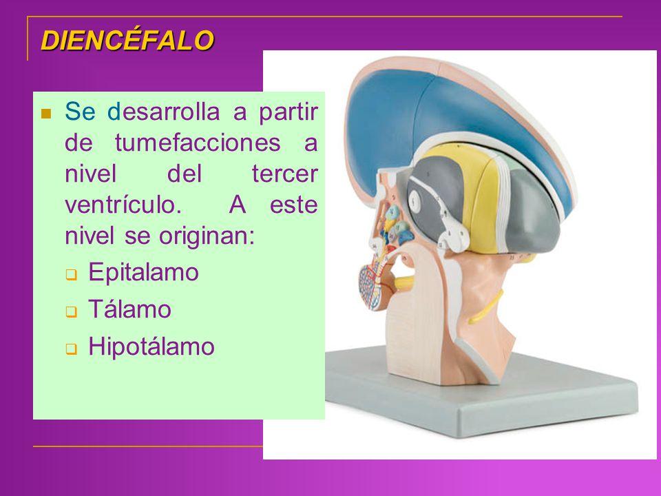 DIENCÉFALO Se desarrolla a partir de tumefacciones a nivel del tercer ventrículo. A este nivel se originan: Epitalamo Tálamo Hipotálamo
