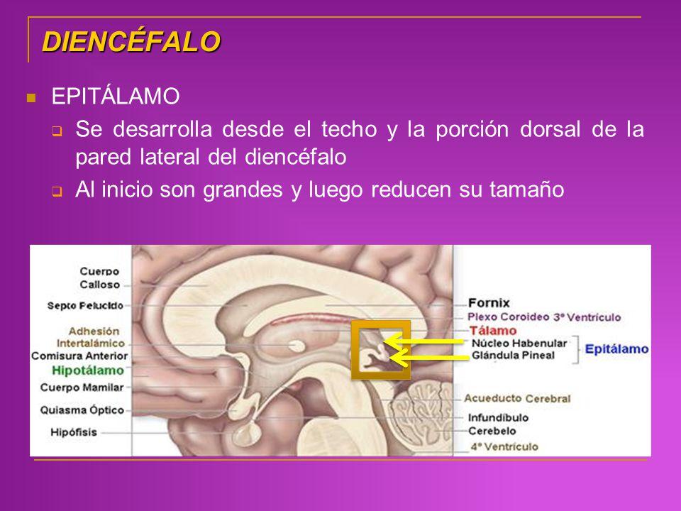 DIENCÉFALO EPITÁLAMO Se desarrolla desde el techo y la porción dorsal de la pared lateral del diencéfalo Al inicio son grandes y luego reducen su tama