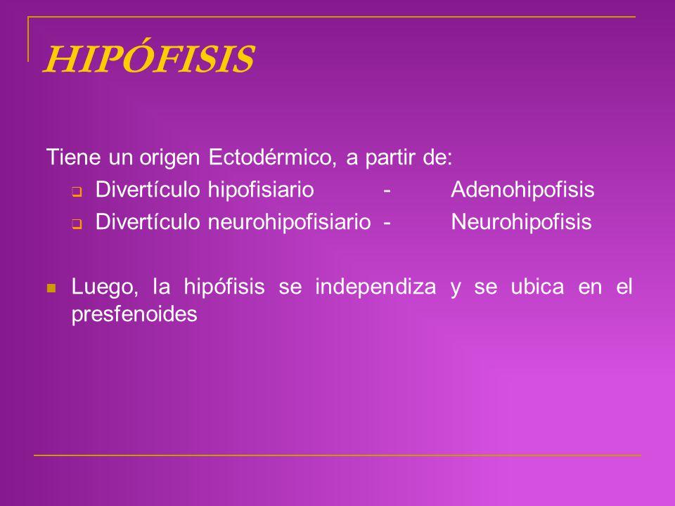 HIPÓFISIS Tiene un origen Ectodérmico, a partir de: Divertículo hipofisiario- Adenohipofisis Divertículo neurohipofisiario- Neurohipofisis Luego, la h