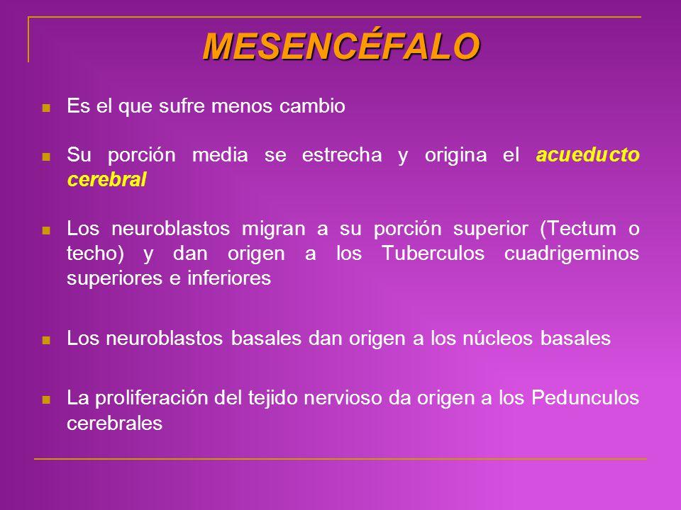 MESENCÉFALO Es el que sufre menos cambio Su porción media se estrecha y origina el acueducto cerebral Los neuroblastos migran a su porción superior (T
