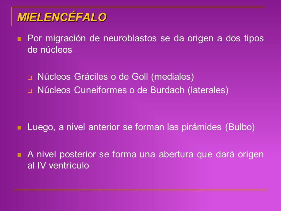 MIELENCÉFALO Por migración de neuroblastos se da origen a dos tipos de núcleos Núcleos Gráciles o de Goll (mediales) Núcleos Cuneiformeso de Burdach (