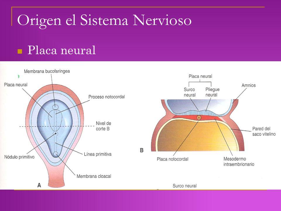 Origen el Sistema Nervioso Placa neural