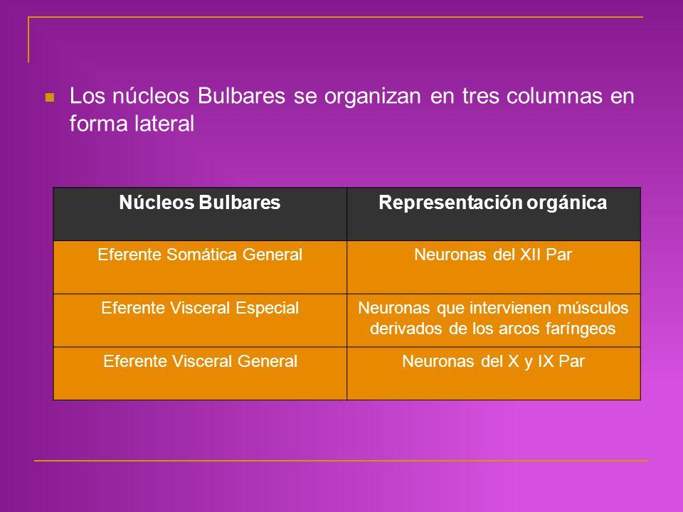 Los núcleos Bulbares se organizan en tres columnas en forma lateral Núcleos BulbaresRepresentación orgánica Eferente Somática GeneralNeuronas del XII