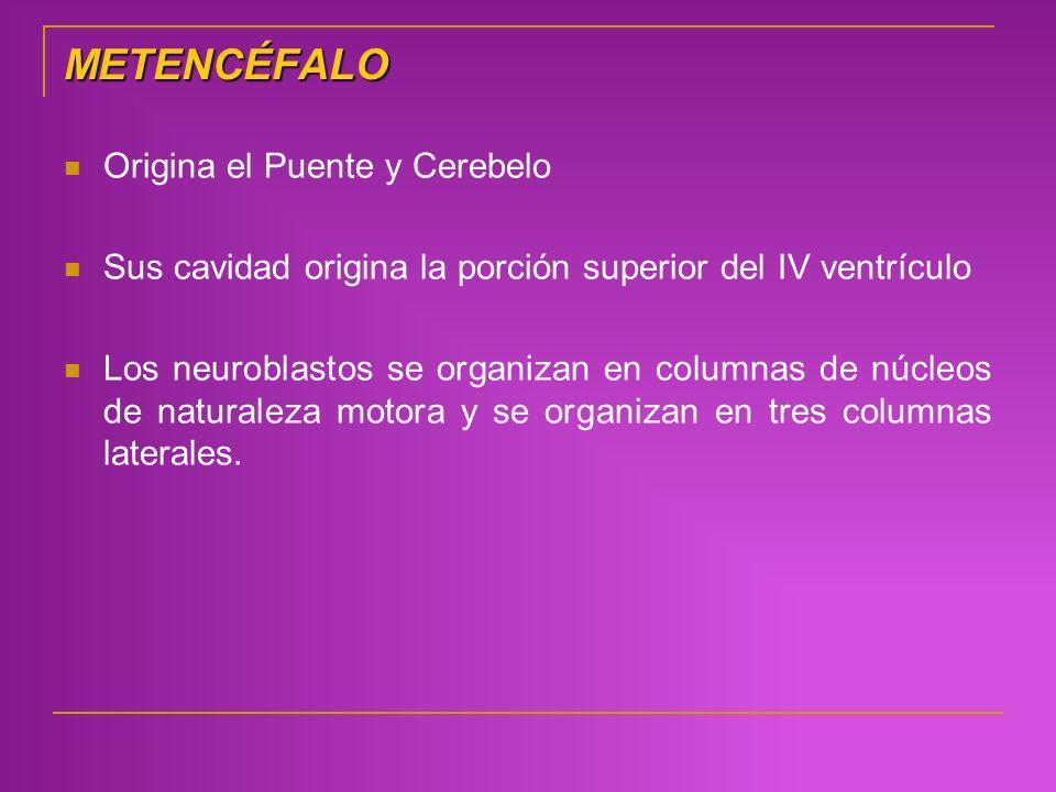 METENCÉFALO Origina el Puente y Cerebelo Sus cavidad origina la porción superior del IV ventrículo Los neuroblastos se organizan en columnas de núcleo