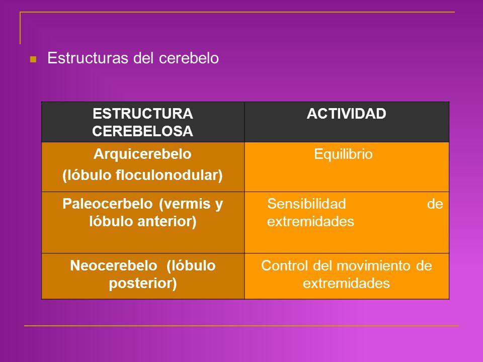 Estructuras del cerebelo ESTRUCTURA CEREBELOSA ACTIVIDAD Arquicerebelo (lóbulo floculonodular) Equilibrio Paleocerbelo(vermis y lóbulo anterior) Sensi