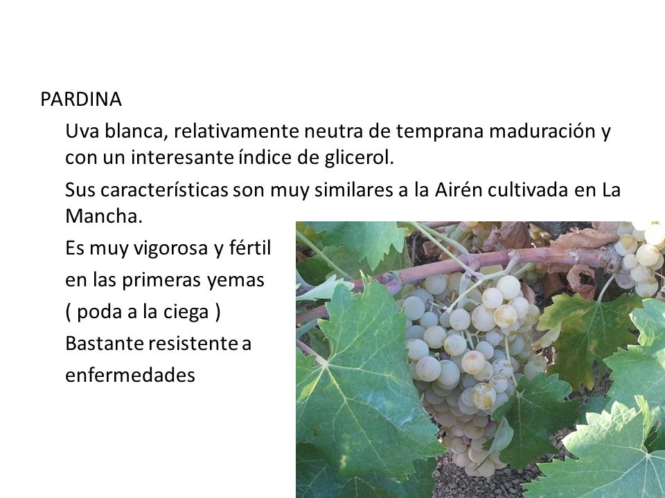 PARDINA Uva blanca, relativamente neutra de temprana maduración y con un interesante índice de glicerol. Sus características son muy similares a la Ai