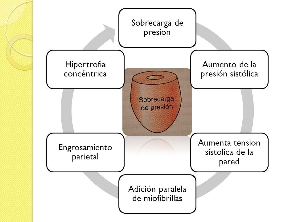 Sobrecarga de presión Aumento de la presión sistólica Aumenta tension sistolica de la pared Adición paralela de miofibrillas Engrosamiento parietal Hi