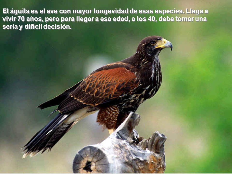 El águila es el ave con mayor longevidad de esas especies. Llega a vivir 70 años, pero para llegar a esa edad, a los 40, debe tomar una seria y difíci