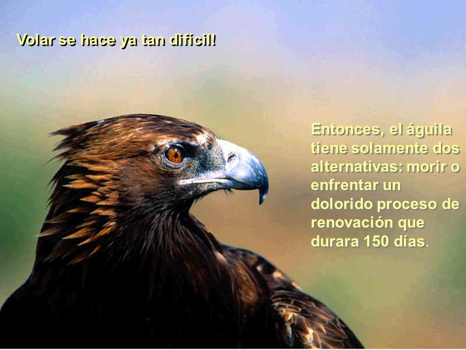 Volar se hace ya tan difícil! Entonces, el águila tiene solamente dos alternativas: morir o enfrentar un dolorido proceso de renovación que durara 150