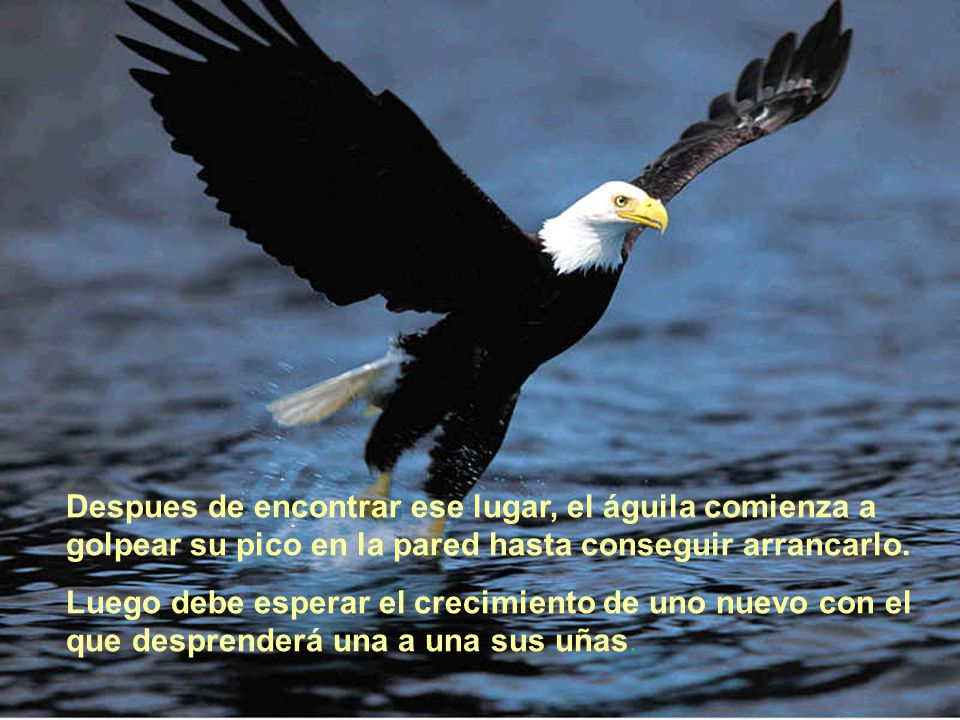 Despues de encontrar ese lugar, el águila comienza a golpear su pico en la pared hasta conseguir arrancarlo. Luego debe esperar el crecimiento de uno