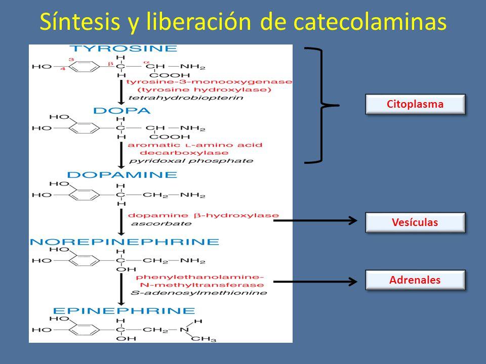 Síntesis y liberación de catecolaminas Adrenales Citoplasma Vesículas