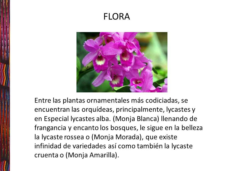 FLORA Entre las plantas ornamentales más codiciadas, se encuentran las orquídeas, principalmente, lycastes y en Especial lycastes alba.