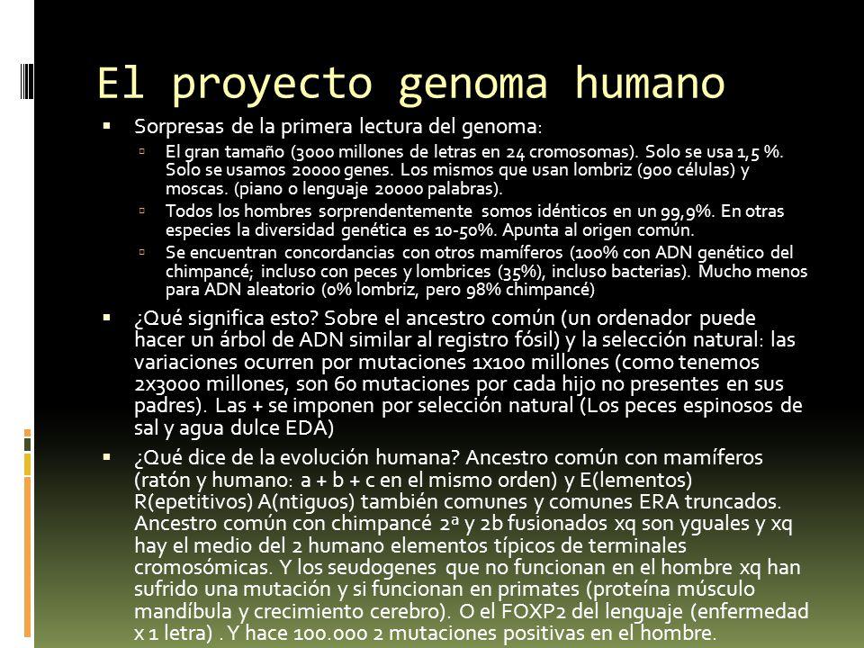 El proyecto genoma humano Sorpresas de la primera lectura del genoma: El gran tamaño (3000 millones de letras en 24 cromosomas). Solo se usa 1,5 %. So
