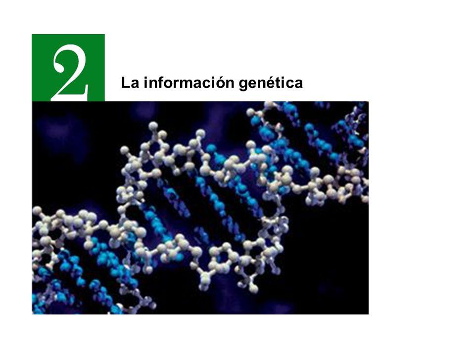 Los ácidos nucleicos Grupo fosfato Glúcido Base nitrogenada Polinucleótido A G T C A – Adenina C – Citosina G – Guanina T – Timina U – Uracilo Bases nitrogenadas Nucleótido